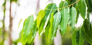 شجرة الكينا